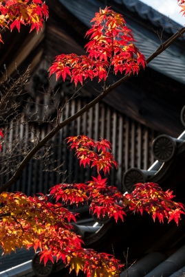 Red Maple at Taizo-in