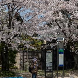 Sakura in Kyoto - pic 4