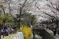 Sakura in Kyoto - pic 5