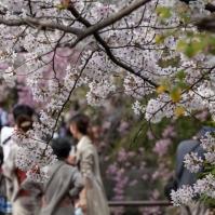 Sakura in Kyoto - pic 7