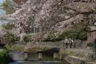 Sakura in Kyoto - pic 10