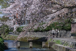 Strolling under the Sakura