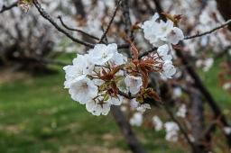 Ninnaji Cherry Blossom - pic 1