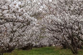 Ninnaji Cherry Blossom - pic 2