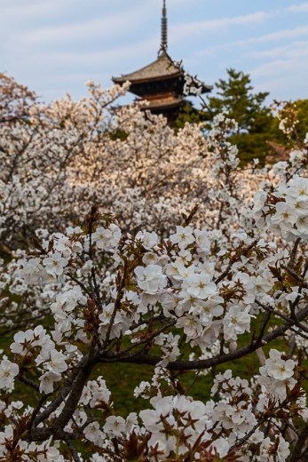 Ninnaji Cherry Blossom - pic 3