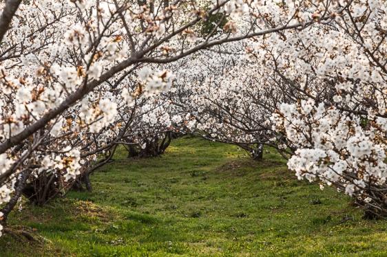 Ninnaji Cherry Blossom - pic 4