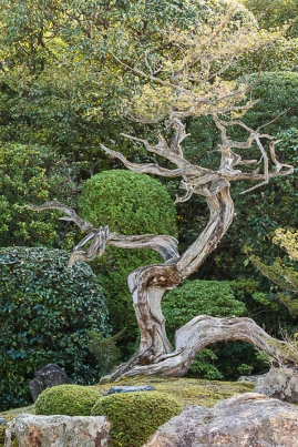 Gnarly Juniper Tree